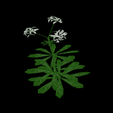 File:Woodruff.png
